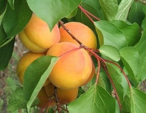 apricots-300x234