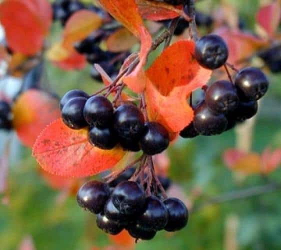 viking aronia chokeberry grimm 39 s gardens. Black Bedroom Furniture Sets. Home Design Ideas
