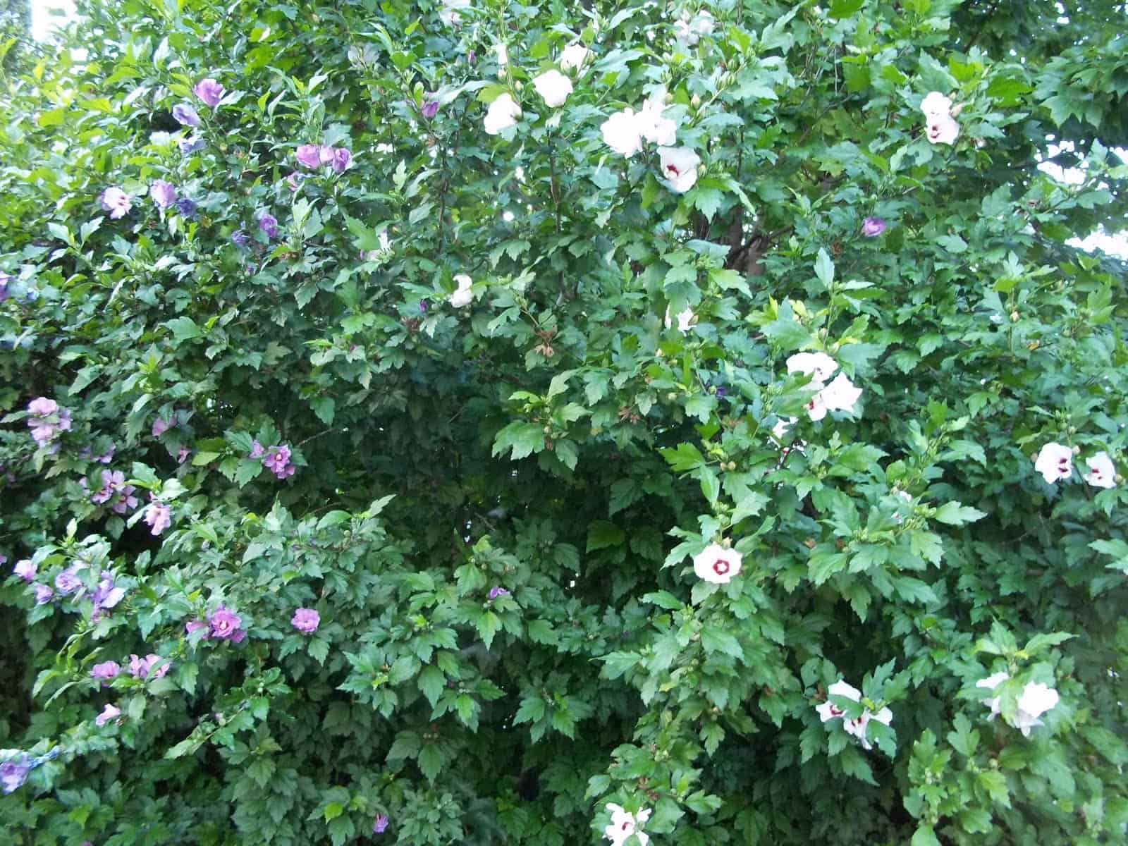 Bali Rose of Sharon | Grimm\'s Gardens