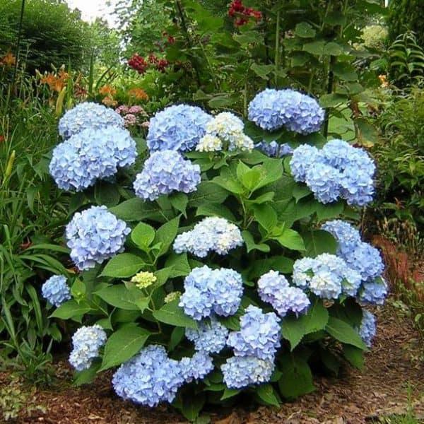 Endless Summer Hydrangea bush in full bloom, light blue globe shaped blooms with dark green foliage