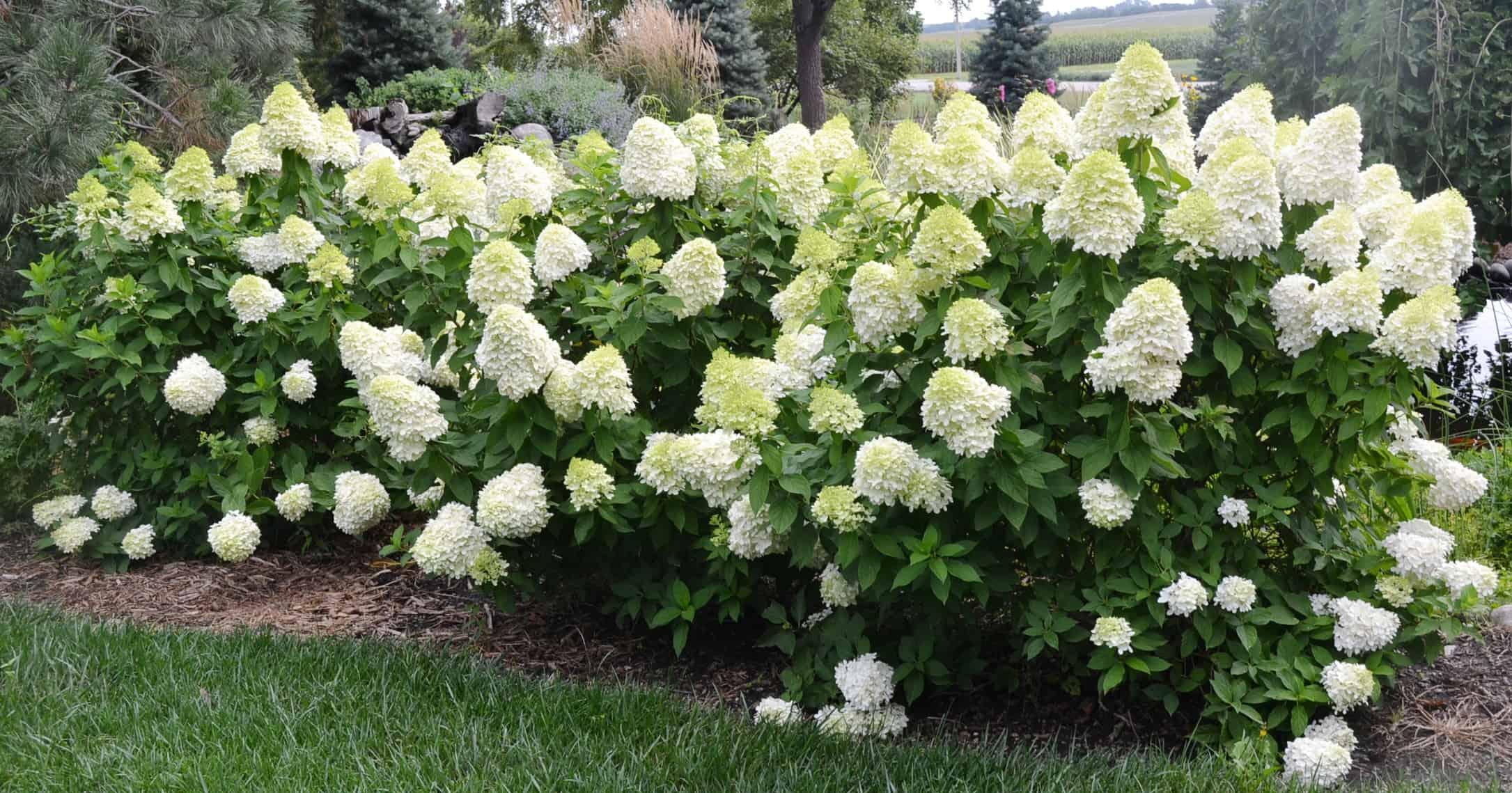 limelight hydrangea grimm 39 s gardens. Black Bedroom Furniture Sets. Home Design Ideas