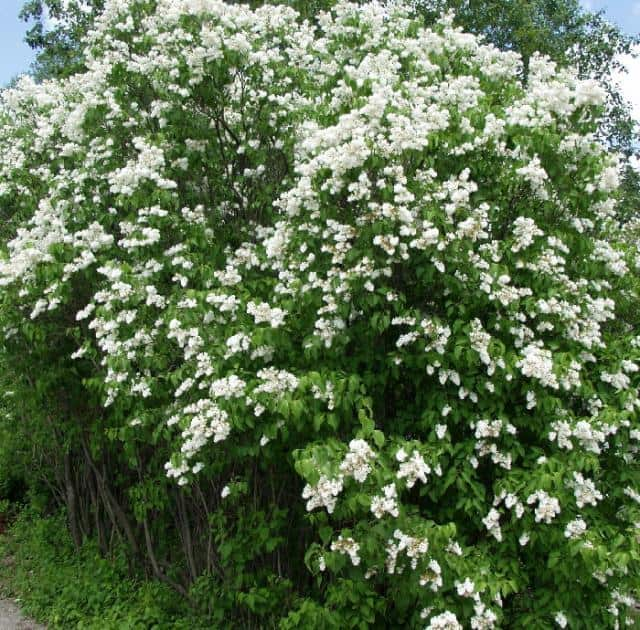 Common White Lilac Grimm S Gardens
