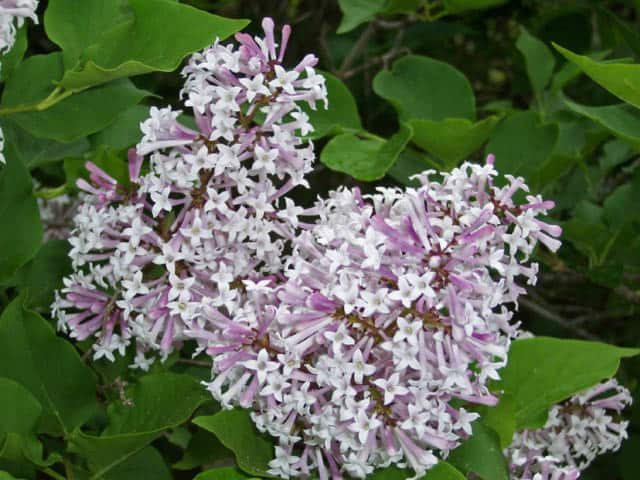 james-macfarlane-lilac