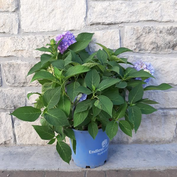 Endless Summer Hydrangea with light to dark blue-purple blooms in a 2 gallon pot