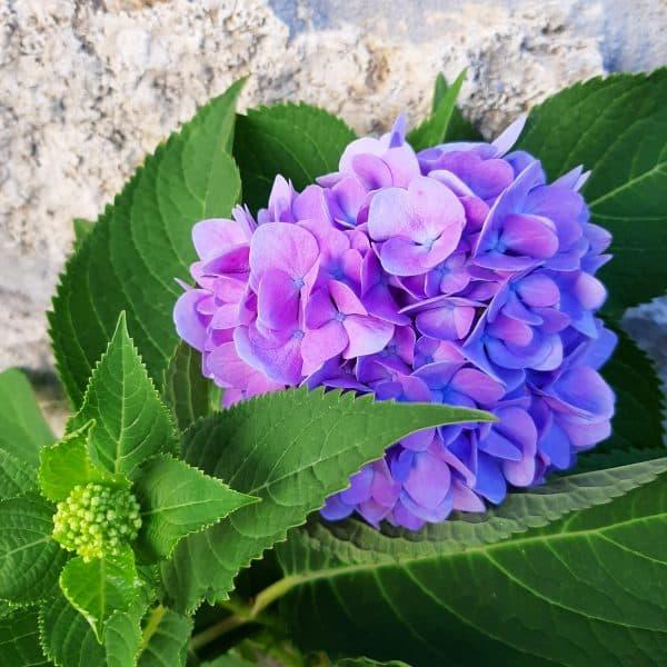 close up of globe shaped medium purple-blue endless summer hydrangea bloom