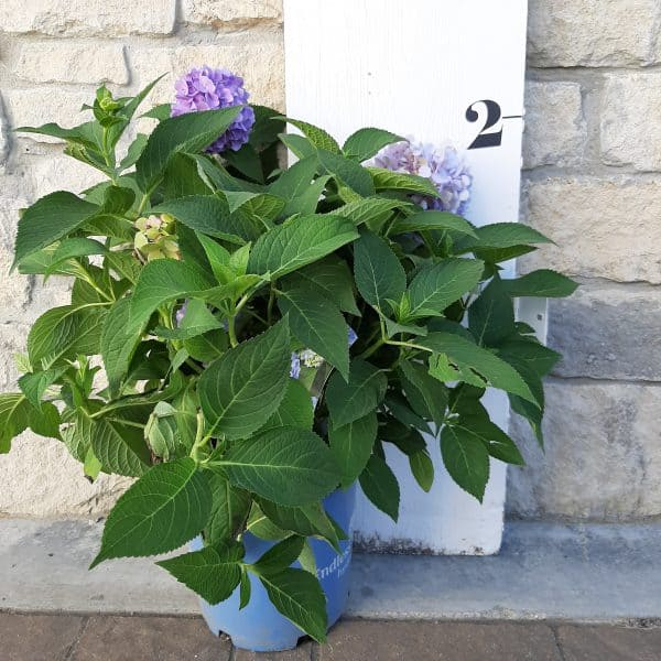 Endless Summer hydrangea in front of a measuring board, 2 feet tall including a 2 gallon pot