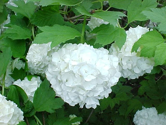 Roseum Snowball Viburnum Grimm S Gardens