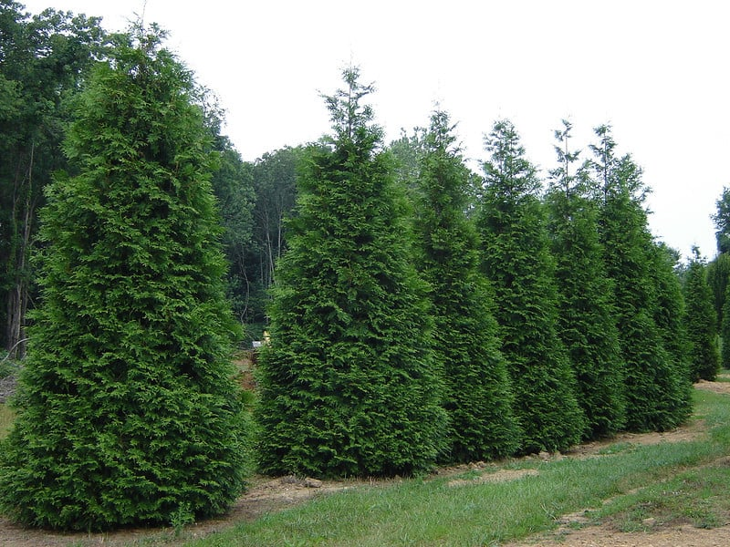 Green giant arborvitae grimm 39 s gardens for Green giant arborvitae