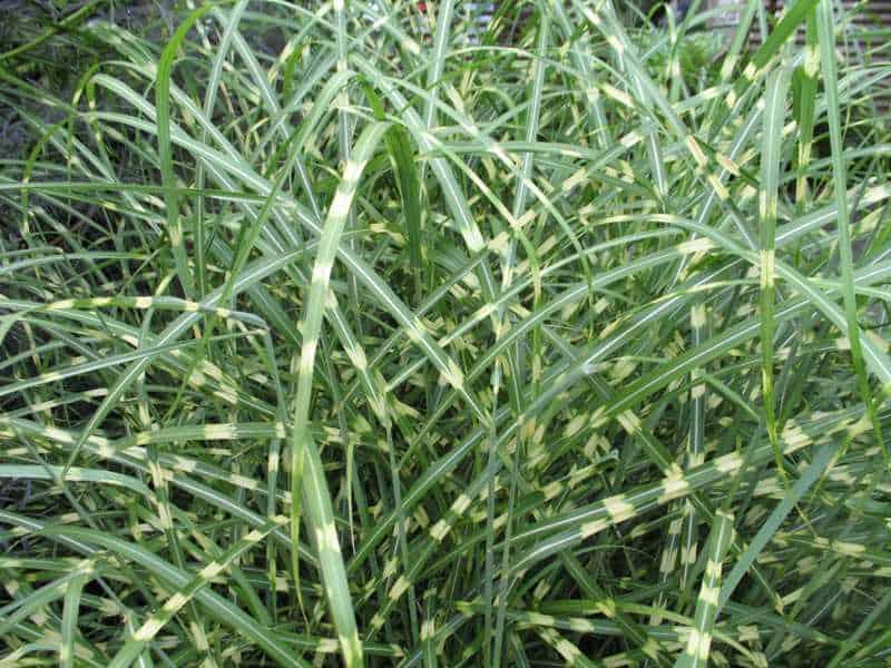 Little zebra maiden grass grimm 39 s gardens for Maiden grass