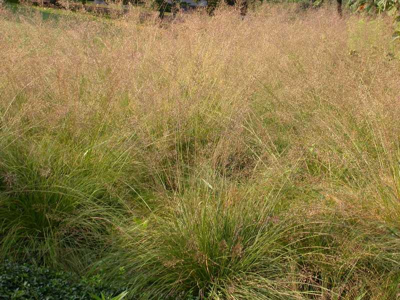 Prairie dropseed native grass grimm 39 s gardens for Ornamental prairie grass