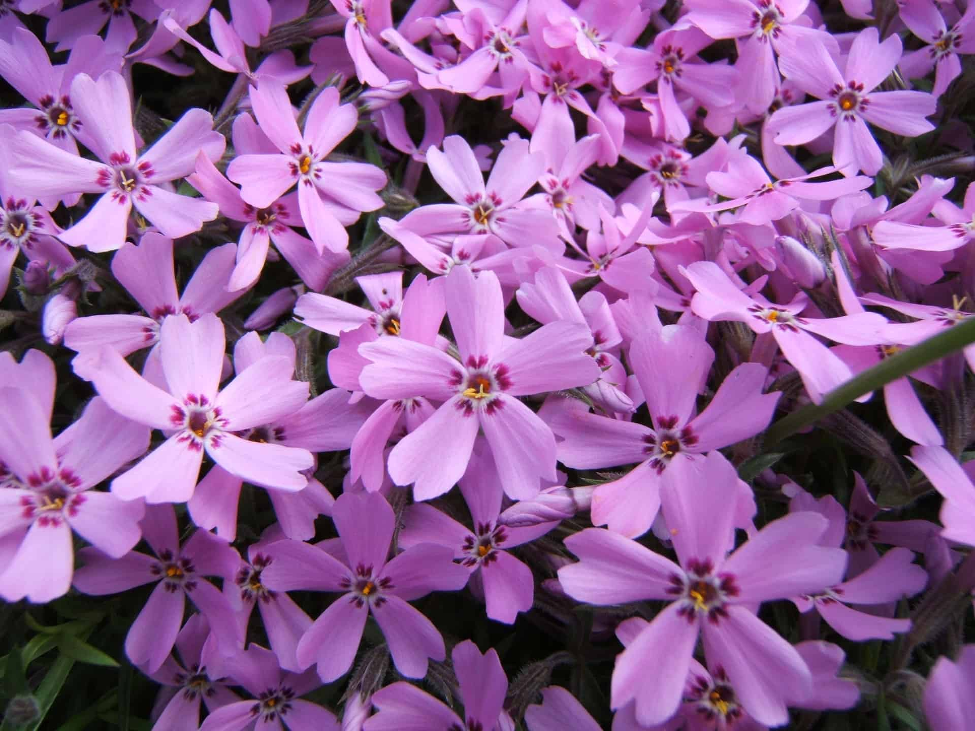 Phlox Red (Creeping) | Grimm's Gardens