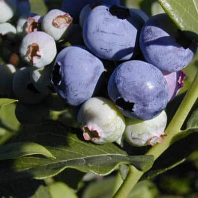 Blueberry Blueray 1