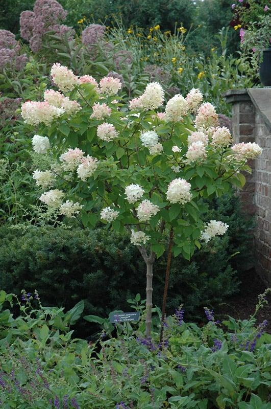 limelight hydrangea tree grimm 39 s gardens. Black Bedroom Furniture Sets. Home Design Ideas