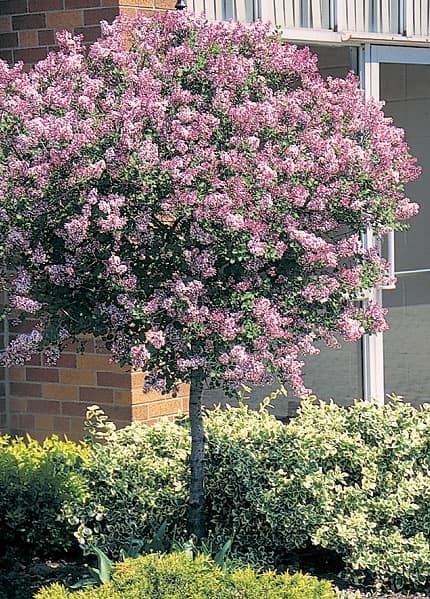 Dwarf Korean Lilac Tree Grimm 39 S Gardens
