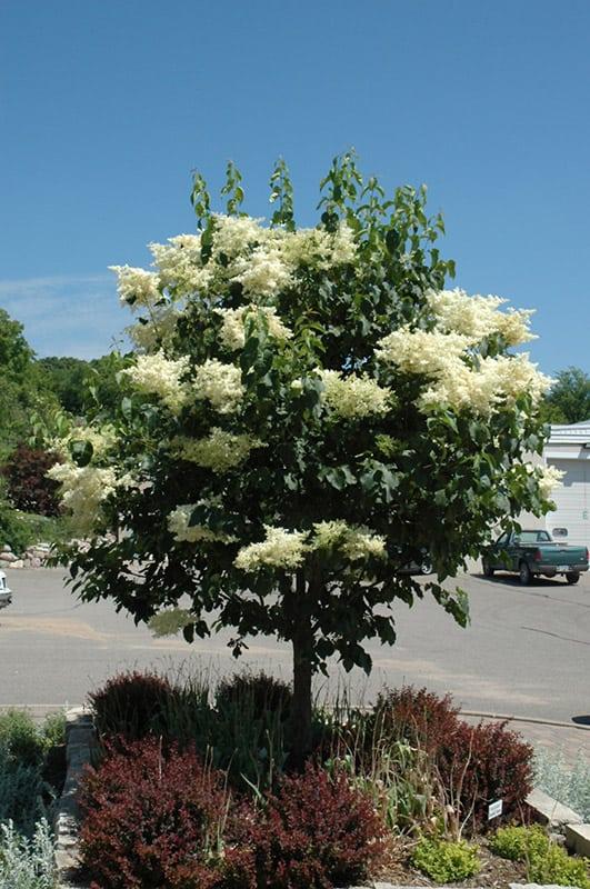 Snowdance Lilac Tree Grimm 39 S Gardens