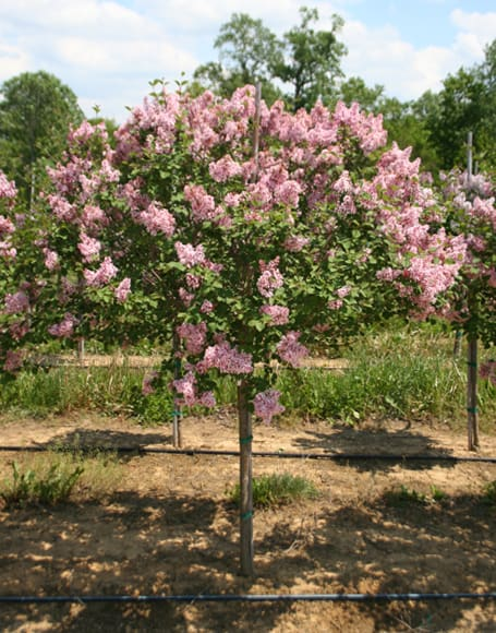 Tinkerbelle Lilac Tree Grimm 39 S Gardens