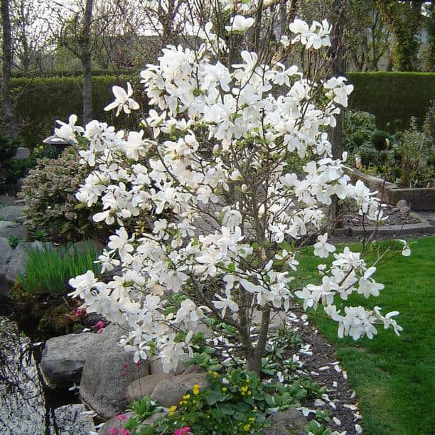 Merrill magnolia grimm 39 s gardens - Fir tree planting instructions a vigorous garden ...