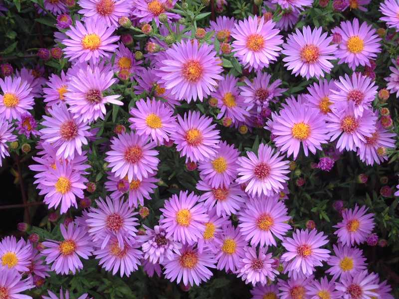 wood's purple aster  grimm's gardens, Beautiful flower