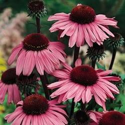 magnus coneflower grimm 39 s gardens. Black Bedroom Furniture Sets. Home Design Ideas