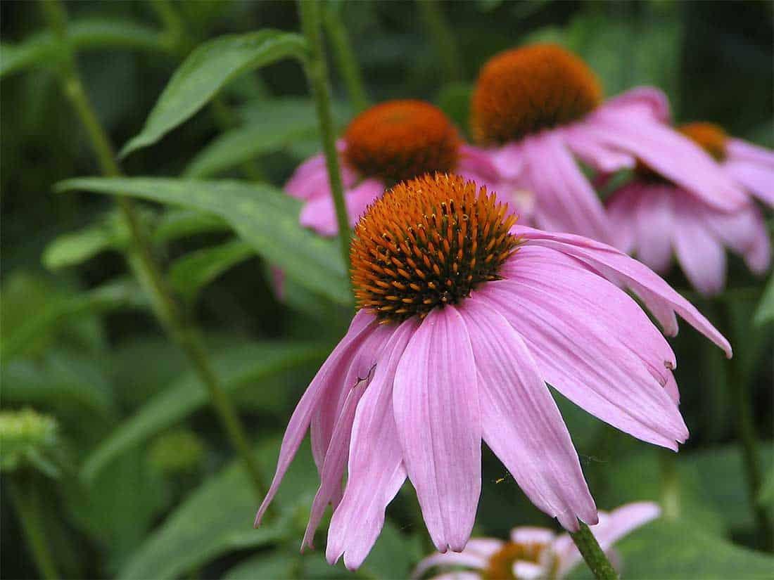 Purple Coneflower Native Grimms Gardens