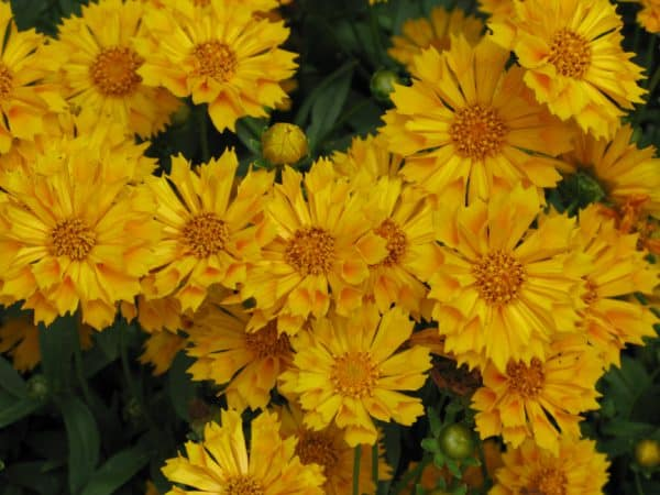 Jethro Tull Coreopsis – Gallon Container