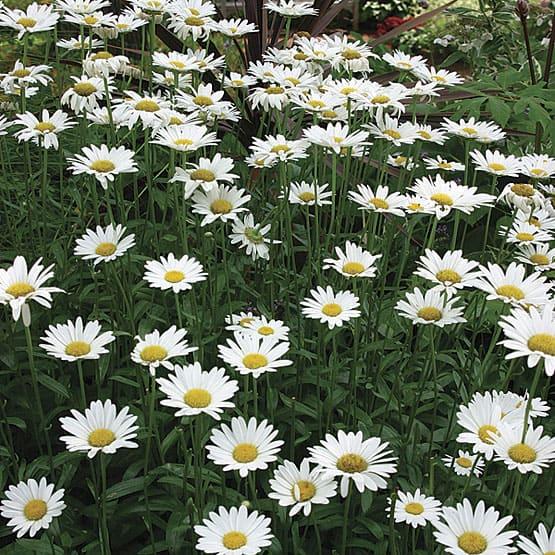 Becky shasta daisy grimm 39 s gardens Where did daisies originate