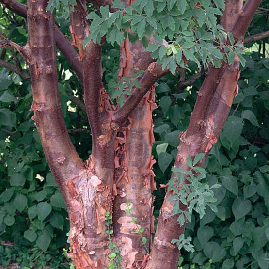 Paperbark maple grimm 39 s gardens - Decorative trees with red leaves amazing contrasts ...