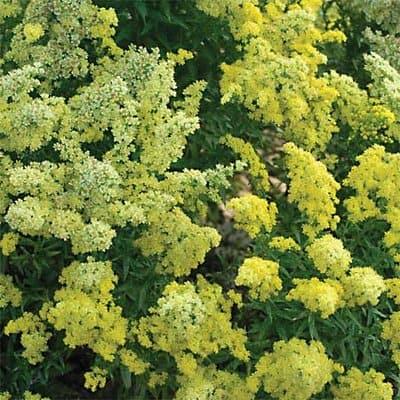 Solidago Dwarf /'Little Lemon/' Perennial XXL Supersize Plug Plants Pack x3