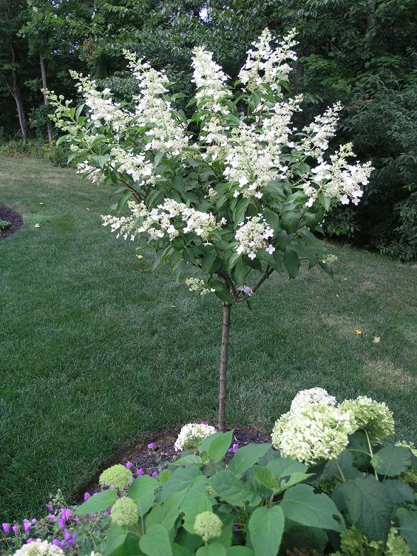 Snow Mountain Hydrangea Tree : Grimmu0026#39;s Gardens