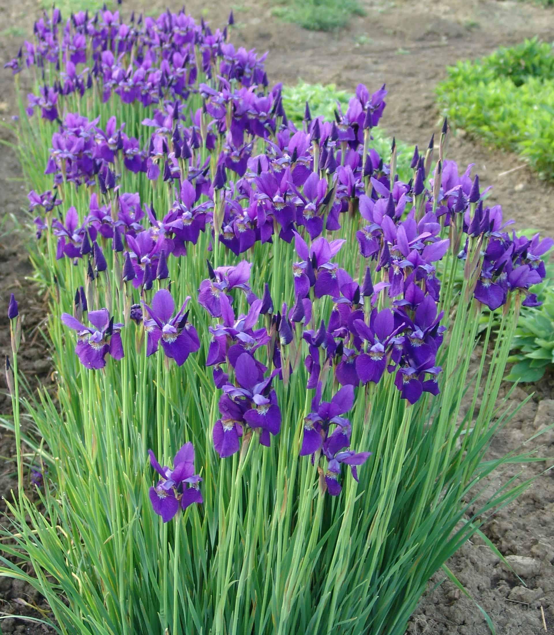 Caesars brother siberian iris grimms gardens caesars brother siberian iris izmirmasajfo