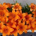Lilien Orange