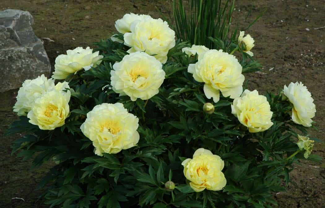 Bartzella Itoh Peony Grimm 39 S Gardens