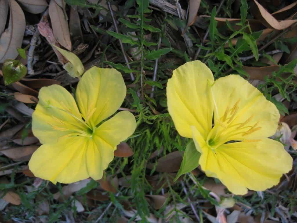 Missouri Primrose Native Grimms Gardens