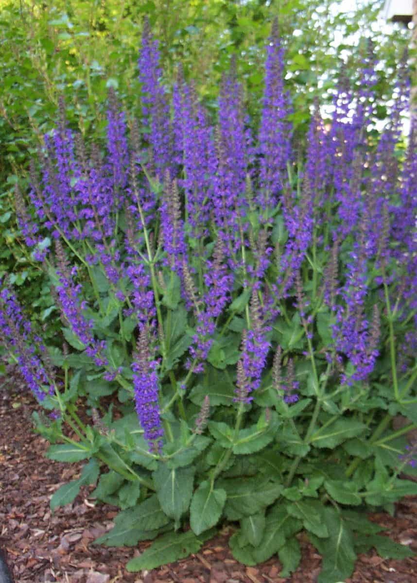 May Night Salvia | Grimm's Gardens