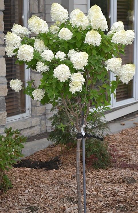 Limelight Hydrangea Tree : Grimmu0026#39;s Gardens