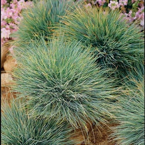 Elijah blue fescue grass grimm 39 s gardens for Blue ornamental grass plants