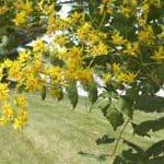 koelreuteria-paniculata-8