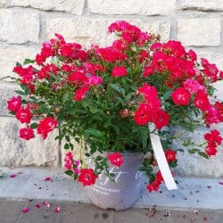 Red Drift rose with multiple small rose blooms