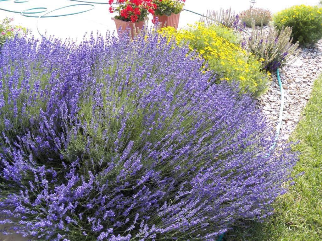 Munstead Lavender in the Landscape