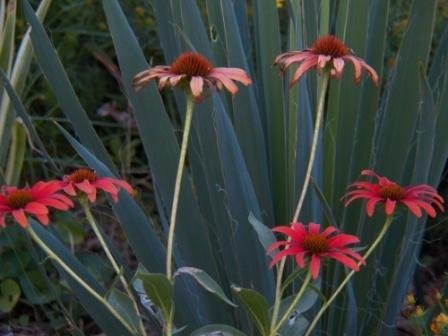 Echinacea 'Tomato Soup' web
