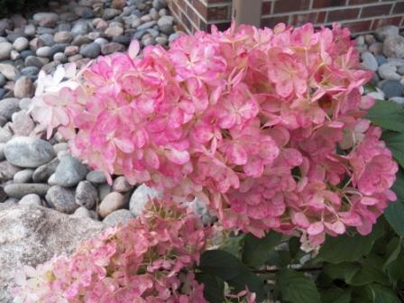 'Vanilla Strawberry' Hydrangea web