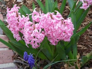 Hyacinth is very fragrant and makes an excellent cut flower!