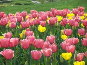 Tulips, imagine these blowing in the wind