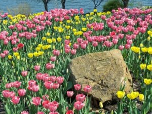 Discover Holland in your back yard! Plant more Tulips!
