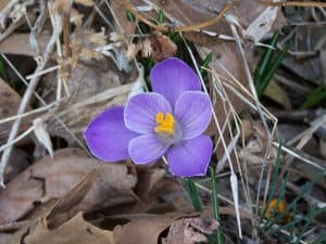 Crocus, one of the earliest bloomers.  Will even bloom in the snow.