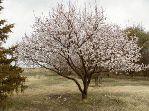 Apricot 'Moorpark'