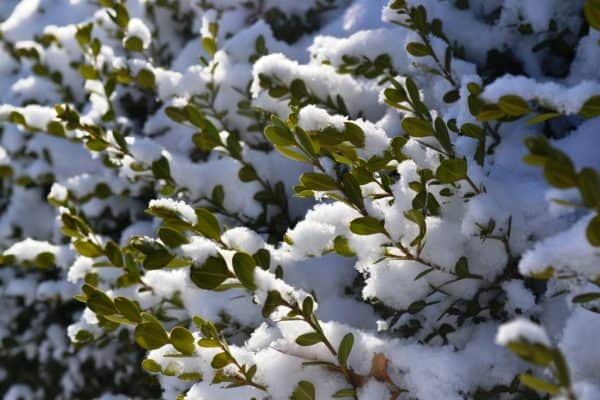 Plants that Look Great with Snow