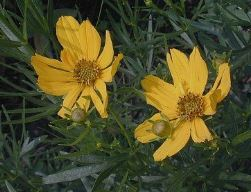 Prairie Coreopsis – Native – 5.5″ Container