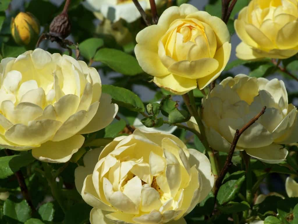 Yellow Roses are cheerful