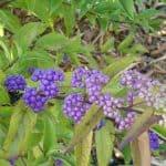 Ornamental Berries